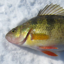 lake simcoe jumbo perch