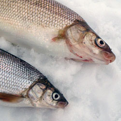 Fishing lake simcoe whitefish tips hotspots tactics for Lake trout ice fishing lures